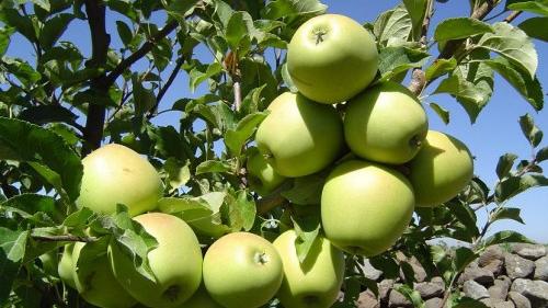 Photo of 30 ألف طن محصول السويداء من التفاح