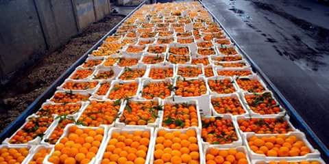 Photo of One hundred and twenty five tons of citrus sent from Lattakia to the people of Deir Ezzor