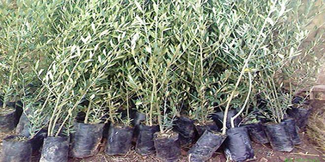 Photo of توزيع غراس الزيتون على المزارعين بالسويداء