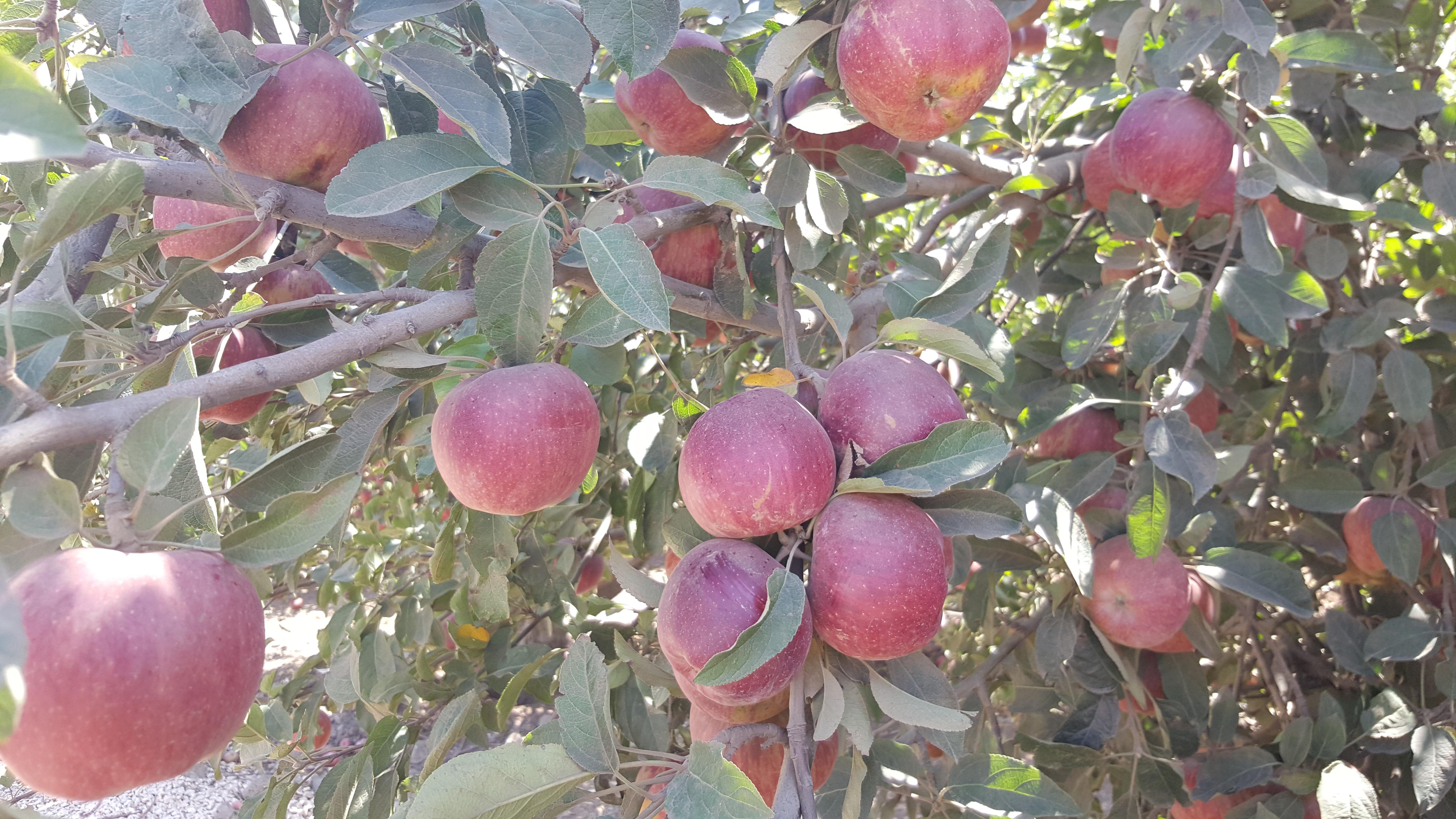 Photo of تفاح الجولان في الطريق لاسواق الوطن