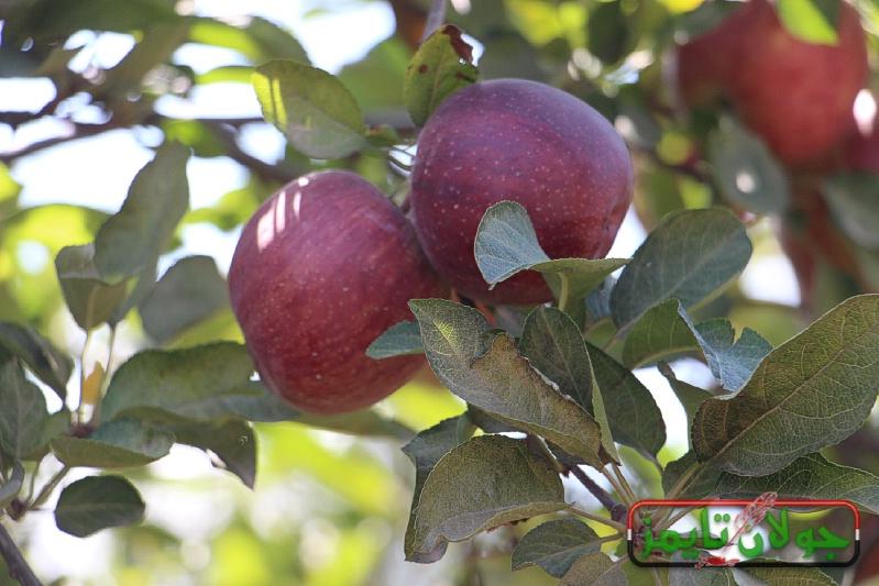 Photo of جولة في بساتين وثلاجات التفاح في الجولان