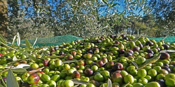 Photo of Head of Olives Office: 82 million fruitful olive trees in Syria, the total exceeding 102 million