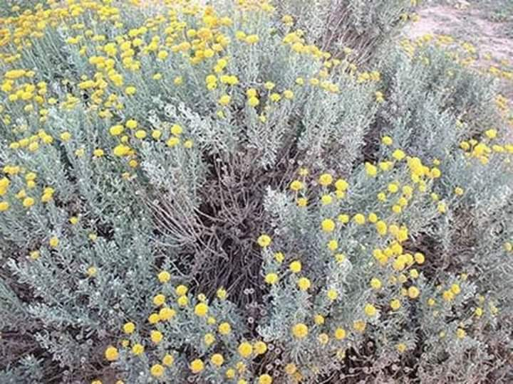 Photo of نبات بري يعتبر علاج السرطان الأول تعرف عليه