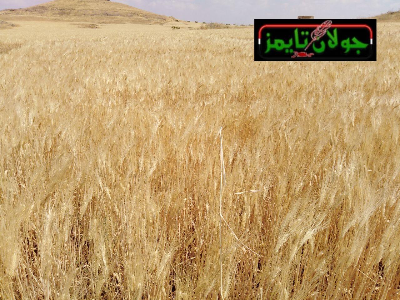 Photo of بدء موسم الحصاد في محافظة السويداء
