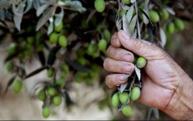 Photo of الحكومة السورية تقرر دعم الزيتون والموسم مبشر