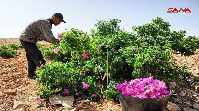 Photo of The Damascene Rose inscribed on UNESCO Intangible Cultural Heritage of Humanity list