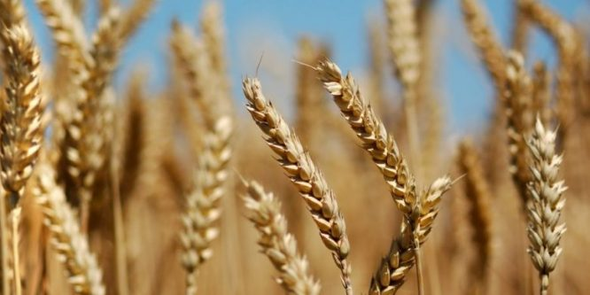 Turkish occupation intends looting wheat from people's fields in Hasaka countryside