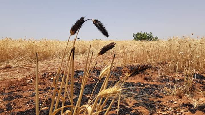 Photo of Nearly 30 dunums of wheat burned in landmine blast left behind by terrorists at Jubbayn village in Hama countryside