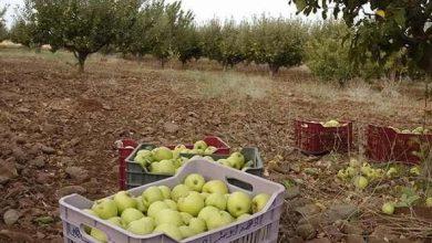 Photo of تضرر 8 آلاف هكتار من مساحات التفاح بالسويداء