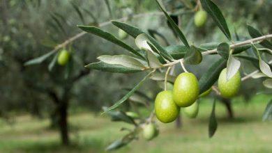 Photo of لتحقيق الأمن الغذائي.. الحكومة تعتمد استراتيجية لتطوير محصول الزيتون