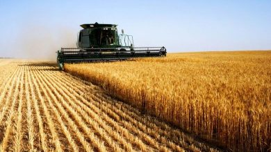 Photo of TMO loots Syrian wheat and barley crops from farmers in cooperation with terrorists