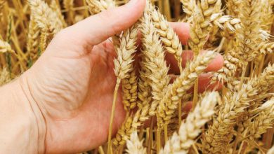 Photo of الحكومة تحدد سعر شراء كيلو القمح من الفلاحين بـ 450 ليرة