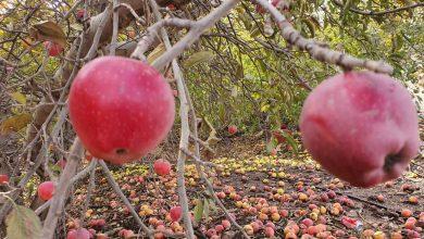"Photo of ""موسم التفاح"".. أرض الخيّر يا جولان ( الصور)"