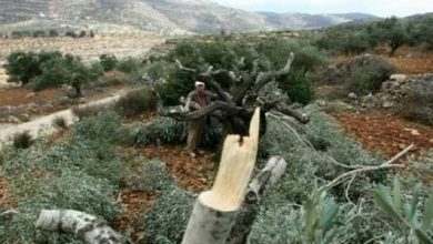 Photo of Isra*eli settlers uproot tens of olive trees south of Hebron