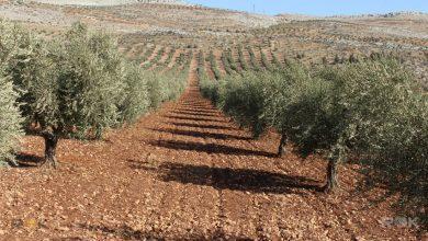 """Photo of """"إرهابيي اردوغان"""" يقطعون مئات أشجار الزيتون بعفرين"""