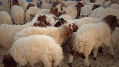 Photo of QSD militia smuggles hundreds of sheep from Syrian al-Jazeera to northern of Iraq