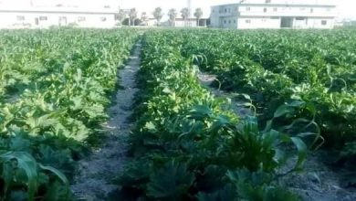 Photo of More than 106 thousand tons of Summer vegetables production in Damascus countryside estimated